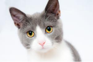 alimento hipoalergénico para gatos